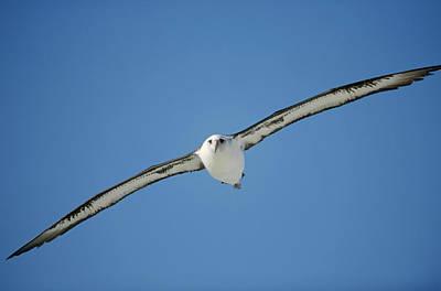Laysan Albatross Soaring Hawaii Art Print by Tui De Roy