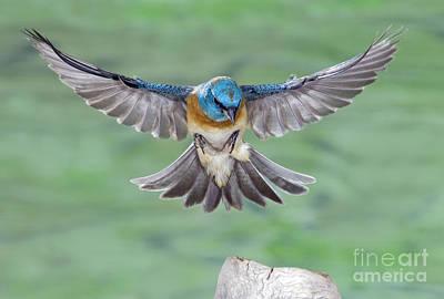 Us Wildllife Photograph - Lazuli Bunting In Flight by Anthony Mercieca