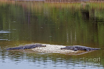 Photograph - Lazy Alligators by Gene Berkenbile