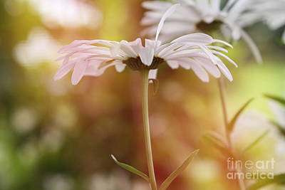 Photograph - Lazy Daisy by Deena Otterstetter