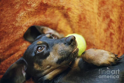 Lazy Dog Photograph - Lazy  Daschund by Angel  Tarantella