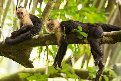 Capuchin Photograph - Lazy Day In The Rainforest by Natural Focal Point Photography