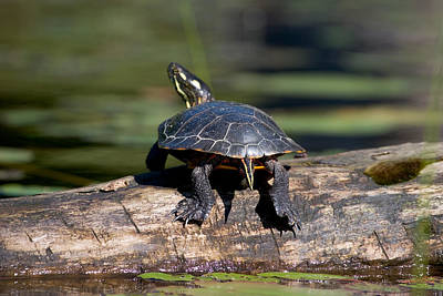 Photograph - Lazy Day On A Log 6241 by Brent L Ander