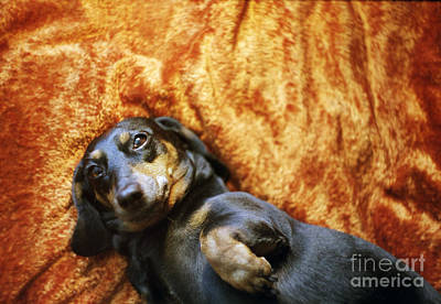 Lazy Dog Photograph - Lazy Dog by Angel  Tarantella