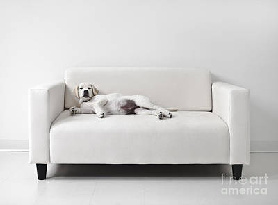 Mischief Photograph - Lazy Dog On The Sofa by Diane Diederich