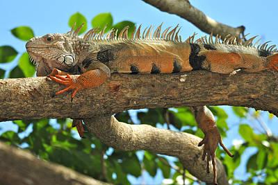 Photograph - Lazy Iguana  by Alan Lenk