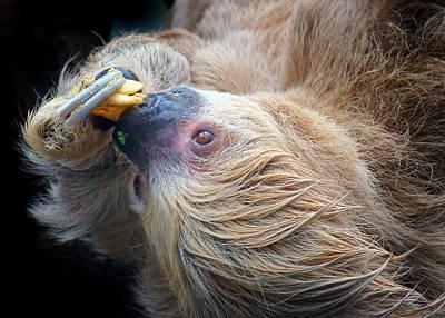 Photograph - Lazy Lunch - Sloth by Nikolyn McDonald
