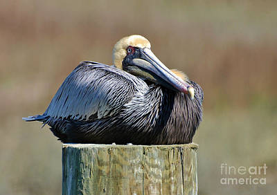 Photograph - Lazy Pelican by Kathy Baccari
