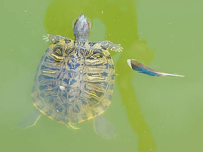Photograph - Lazy Summer Afternoon - Floating Turtle by Menega Sabidussi