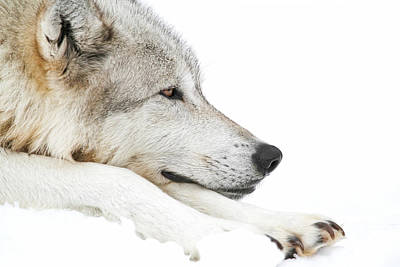 Science Collection Rights Managed Images - Lazy Winter Wolf In Snow Royalty-Free Image by Athena Mckinzie