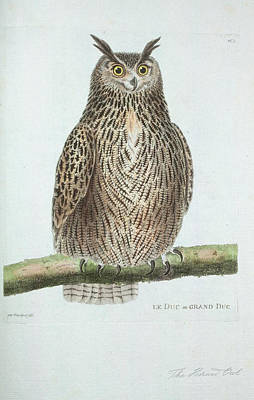 Barn Owl Drawing - Le Ducou Grand Duc by Philip Ralley