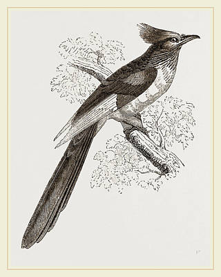 Cuckoo Drawing - Le Vaillants Cuckoo by Litz Collection
