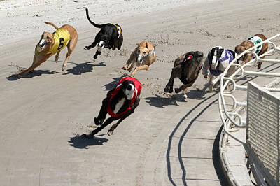 Greyhound Photograph - Leader Of The Pack by Randall Ingalls