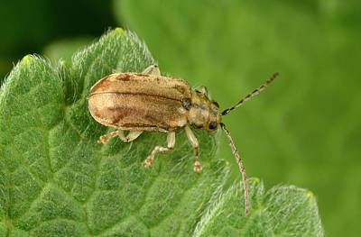 Brown Leaf Photograph - Leaf Beetle by Nigel Downer