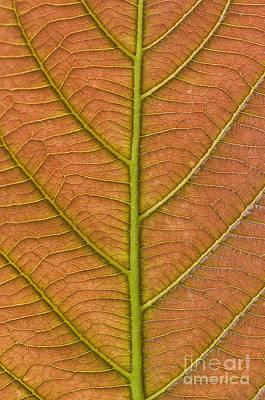 Photograph - Leaf Close Up In Senegal by Frans Lanting MINT Images