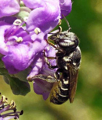 Photograph - Leaf Cutter Bee by Walter Klockers