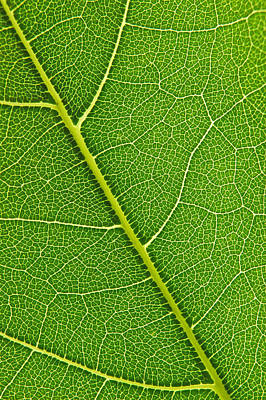 Art Print featuring the photograph Leaf Detail by Carsten Reisinger