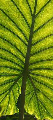 Photograph - Leaf Geometry by Leda Robertson