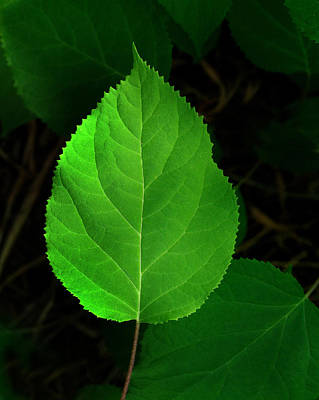 Photograph - Leaf Glow by Jamieson Brown