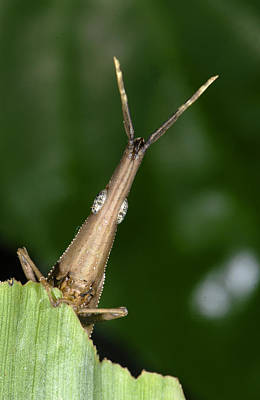 Photograph - Leaf Grasshopper by Francesco Tomasinelli