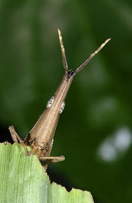 Photograph - Leaf Grasshopper by Francesco Tomasinelli