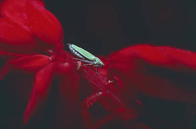 Photograph - Leaf Hopper by Mark Greenberg