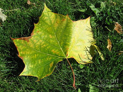 Fall Photograph - Leaf In Sunlight by Tamara Lee Madden