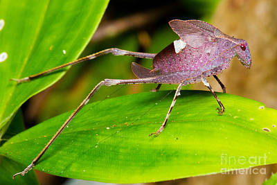 Photograph - Leaf Katydid by BG Thomson