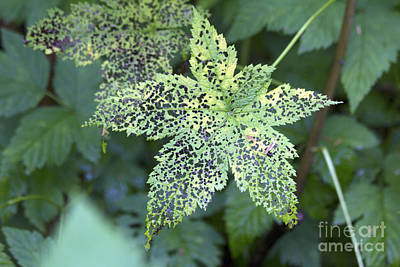 Photograph - Leaf Lace by Alycia Christine