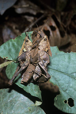 Grasshopper Wall Art - Photograph - Leaf-mimic Grasshoppers Mating by Dr Morley Read/science Photo Library
