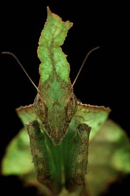 Praying Mantis Photograph - Leaf-mimic Praying Mantis by Tomasz Litwin