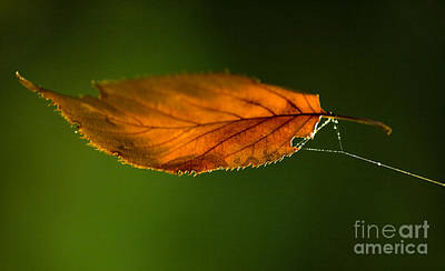 Orange Sun Photograph - Leaf On Spiderwebstring by Iris Richardson