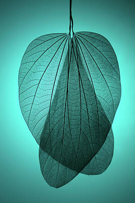 Photograph - Leaf Skeleton On Cyan Background by Miragec