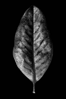 Photograph - Leaf Study No. 01 by Pictorial Decor