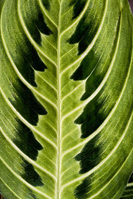 Photograph - Leaf Symmetry by Robert Woodward