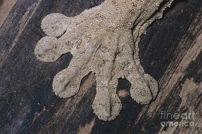 Photograph - Leaf-tailed Gecko Foot by Nature's Images