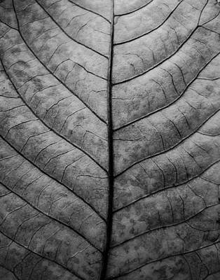 Photograph - Leaf Veins Detail Black And White Photograph by Keith Dotson