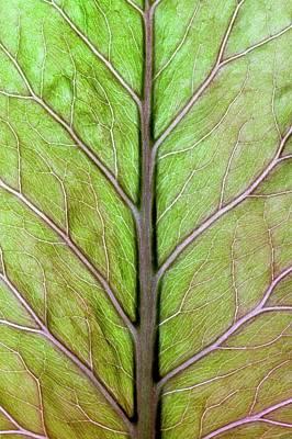 Himalayan Wall Art - Photograph - Leaf Veins Of Cardiocrinum Giganteum by Dr Jeremy Burgess