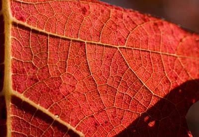 Photograph - Leaf Venation Pattern 1 by Douglas Barnett