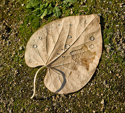 Leaf With Drops Print by Zoriy Fine
