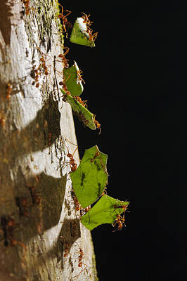 Atta Photograph - Leafcutter Ant Carrying Leaves Costa by Konrad Wothe