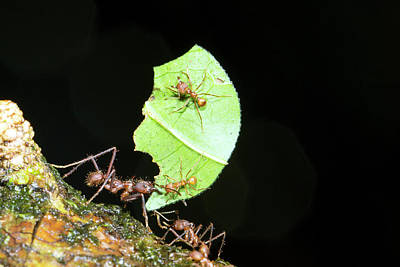 Amazon Rainforest Photograph - Leafcutter Ant by Dr Morley Read