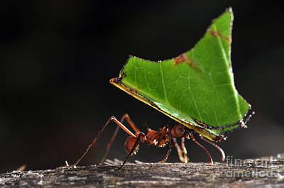Ant Photograph - Leafcutter Ant by Francesco Tomasinelli