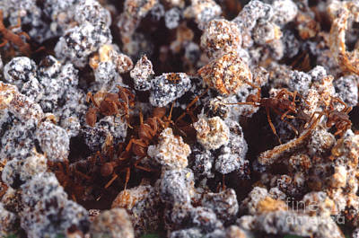 Leaf-cutter Ant Photograph - Leafcutter Ant Fungus Garden by Gregory G. Dimijian