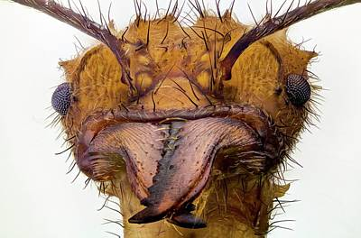 Leaf-cutter Ant Photograph - Leafcutter Ant Head by Nicolas Reusens