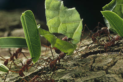 Atta Photograph - Leafcutter Ants Carrying Leaves Barro by Mark Moffett