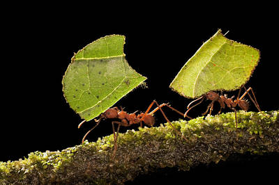 Leaf-cutter Ant Photograph - Leafcutter Ants Carrying Leaves Costa by Ingo Arndt