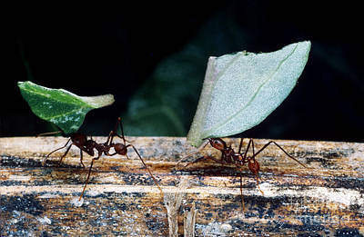 Leaf-cutter Ant Photograph - Leafcutter Ants Carrying Leaves by Gregory G. Dimijian, M.D.