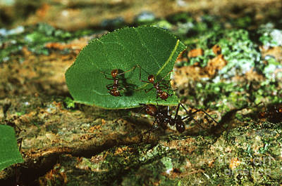 Leaf-cutter Ant Photograph - Leafcutter Ants by Gregory G. Dimijian, M.D.