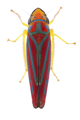 Leafhopper Estabrook Woods Art Print by Piotr Naskrecki